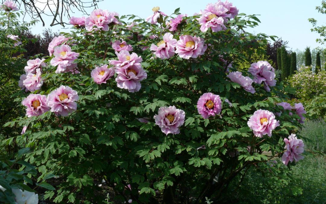 Strauchpfingstrosen-Blüte