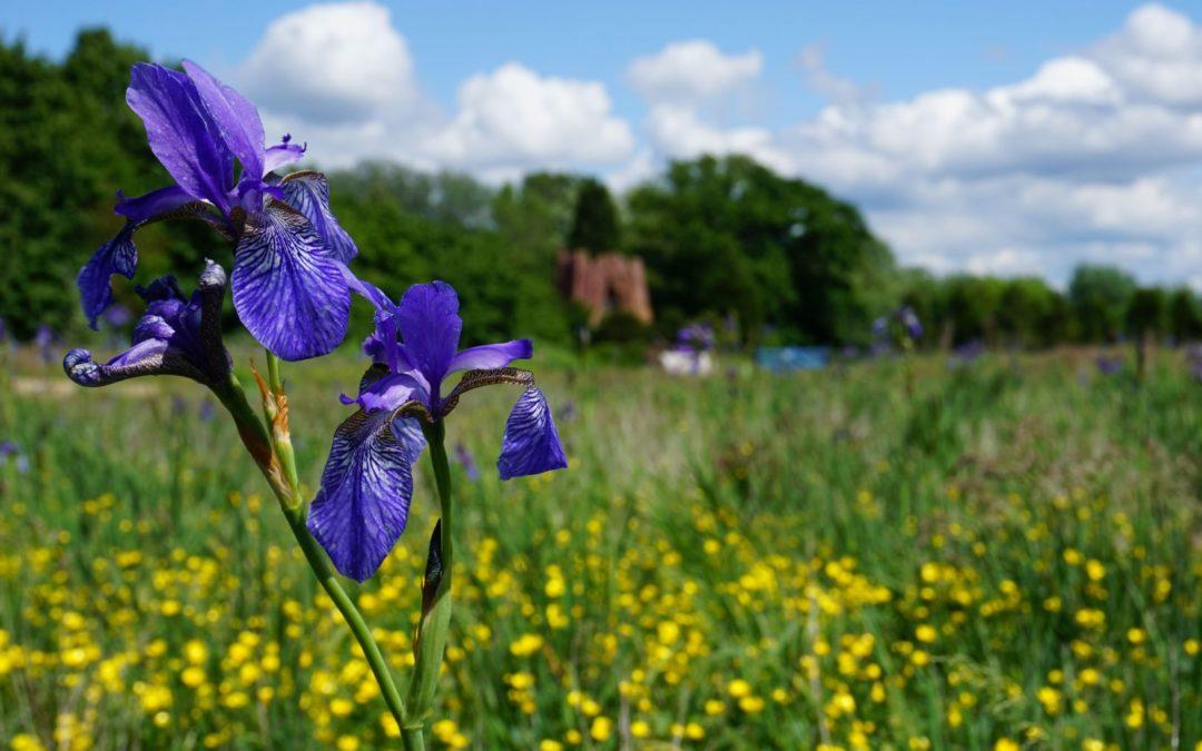 Ein Meer aus blauen Iris